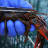 Lobster pot: Restaurant gets shellfish high on own supply prior to ...