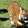 Tiger pursues terrified tourist 'prey' through wildlife park (VIDEO)